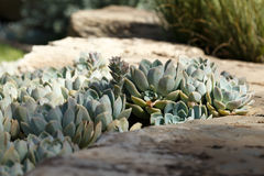生长在岩石之间的多汁植物 免版税图库摄影