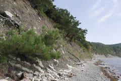生长在岩石倾斜的杉木  免版税库存图片