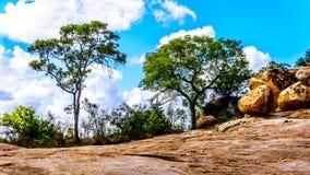 生长在岩石地面的树在克留格尔国家公园 免版税库存照片