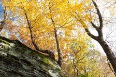 生长在岩石壁架的黄色树 免版税库存图片