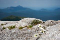 生长在岩石外面的白花,与在一个被弄脏的距离的山 库存图片