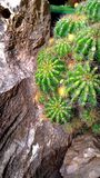 生长在岩石的仙人掌 库存照片