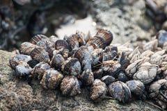 生长在岩石的壳在海滩 库存图片