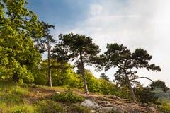 生长在岩石的杉木反对蓝天 免版税库存照片