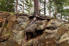 生长在岩石的杉木 免版税库存照片