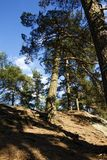 生长在岩石的杉树 免版税图库摄影