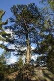 生长在岩石的杉树 图库摄影