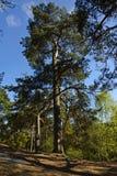 生长在岩石的杉树 免版税库存照片