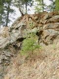 生长在岩石的树 免版税图库摄影