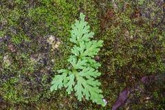 生长在岩石的蕨和青苔 图库摄影