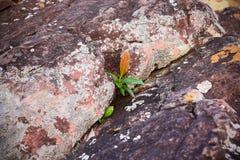 生长在岩石,困难的生活的概念的植物 只生存的强 免版税库存照片