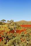 生长在岩石,峡谷,西澳州的边的产树胶之树 免版税库存照片