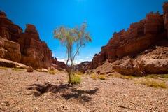 生长在峡谷的岩石中的沙漠植物 免版税图库摄影