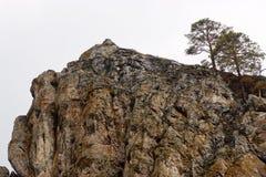 生长在峭壁的两棵杉树 库存图片