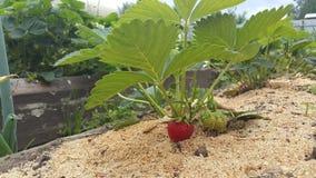 生长在布什的成熟和可口草莓在庭院里 免版税图库摄影