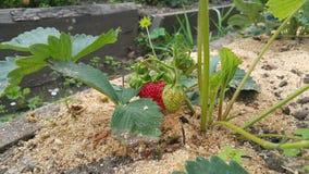 生长在布什的成熟和可口草莓在庭院里 图库摄影