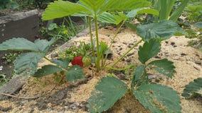 生长在布什的成熟和可口草莓在庭院里 库存照片