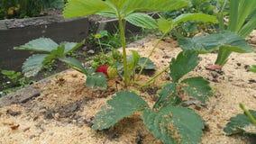 生长在布什的成熟和可口草莓在庭院里 免版税库存图片