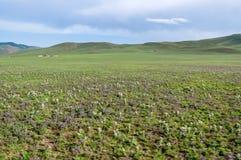生长在干草原,北蒙古的野花 库存照片