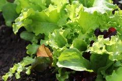 生长在床上的新鲜的绿色和红色卷曲莴苣 沙拉背景 图库摄影