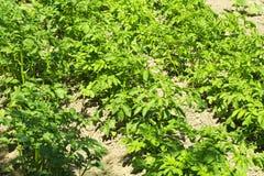 生长在床上的绿色花土豆 免版税库存照片