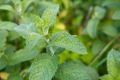 生长在庭院的墨角兰植物的照片 植物和庭院 免版税库存图片