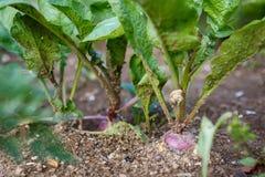 生长在庭院的墨角兰植物的照片 植物和庭院 免版税库存照片