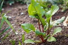 生长在庭院的墨角兰植物的照片 植物和庭院 库存照片