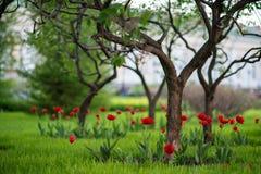 生长在庭院的红色郁金香 库存照片