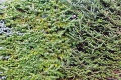 生长在庭院背景中的常青树 免版税库存照片