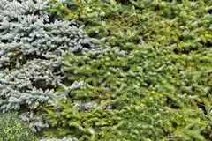 生长在庭院背景中的常青树 库存图片