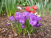 生长在庭院设置的紫色番红花 免版税库存图片