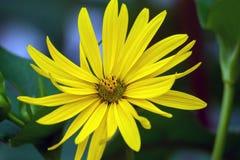 生长在庭院里的一朵黄色雏菊 免版税库存照片