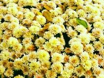 生长在庭院里的五颜六色的菊花 免版税库存照片