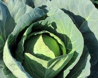 生长在庭院里的大白椰菜 免版税库存图片