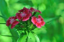 生长在庭院里的小康乃馨开花  免版税库存照片