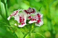 生长在庭院里的小康乃馨开花  免版税库存图片