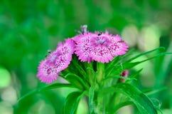 生长在庭院里的小康乃馨开花  库存图片