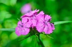 生长在庭院里的小康乃馨开花  图库摄影