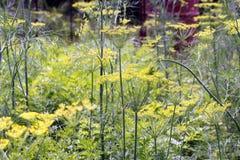 生长在庭院里的开花的莳萝 免版税库存图片