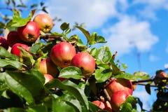 生长在庭院里的成熟红色苹果 库存照片
