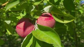 生长在庭院里的成熟苹果 影视素材