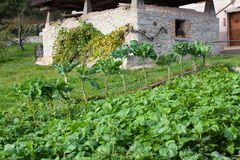 生长在庭院里的抱子甘蓝在加耶戈斯角,阿斯图里亚斯 免版税库存图片