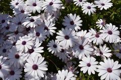 生长在庭院里的新鲜的白色和紫色雏菊 图库摄影