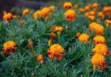 生长在庭院里的明亮的芬芳美丽的桔子丰富开花的万寿菊花床  库存照片