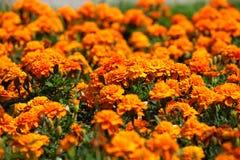 生长在庭院里的明亮,芬芳,美丽,橙色,丰富开花的万寿菊花床在露天下 免版税库存照片