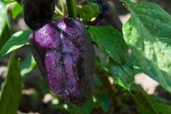 生长在庭院里的有机辣椒粉胡椒 免版税图库摄影