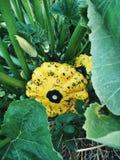 生长在庭院里的有机黄色pattypan南瓜 库存照片