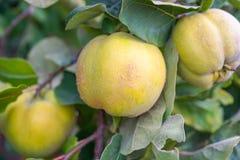生长在庭院里的柑橘树 库存图片