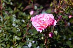 生长在庭院里的桃红色玫瑰的布什 免版税库存照片